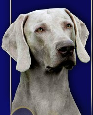 Weimaraner Short-haired